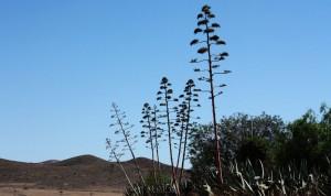 agave nature cabo de gata almeria andalousie espagne